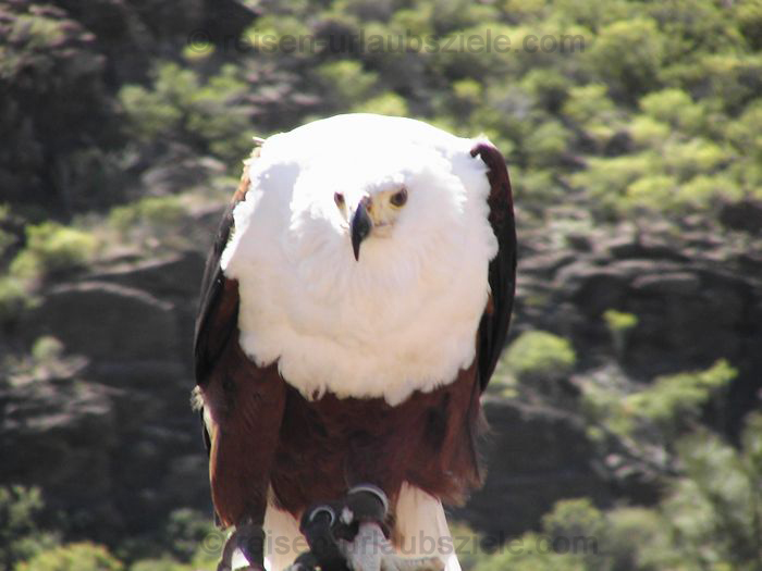 ReiseseitenAmerikaWeiskopfadler